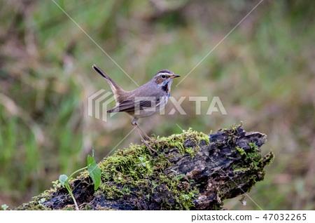 可愛小鳥 47032265