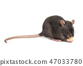 Gray rat with cheese 47033780