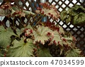 Rhizome begonia red leaf up 47034599