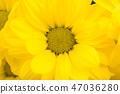 chrysanthemum isolated 47036280