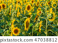 Sunflowers blossoming field 47038812