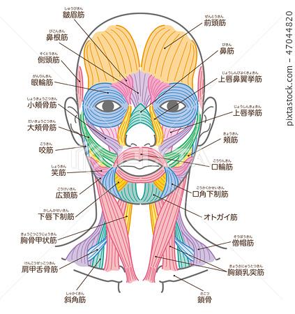 面部和頸部肌肉的名稱 47044820