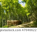 bamboo thicket, bamboo thicket path, bamboo thicket road 47046622
