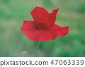Red spring poppy 47063339