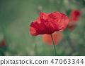 Red spring poppy 47063344
