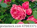 Pink roses garden 47063371