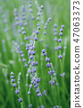 Lavender beautiful flowers 47063373