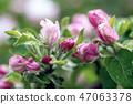 Apple tree flower 47063378