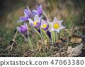Pasque-flower in nature 47063380