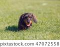 cute female of brown dachshund 47072558