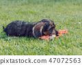 cute female of brown dachshund 47072563