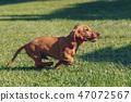 cute female of brown dachshund 47072567