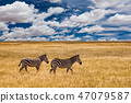 Zebra in the grass nature habitat, National Park of Kenya. Wildlife scene from nature, Africa 47079587