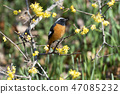 small bird, redstart, bird 47085232