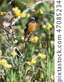 small bird, redstart, bird 47085234