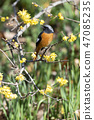 small bird, redstart, bird 47085235