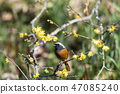 small bird, redstart, bird 47085240