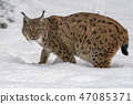 lynx in the snow portrait 47085371