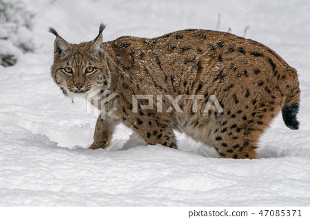 lynx in the snow portrait 47085371