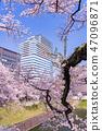 (도쿄도) 치도리가 후치의 만개 한 벚꽃 47096871