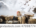 japanese macaque or snow monkey in hot spring 47098774