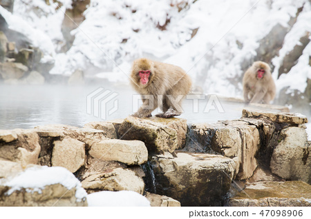 japanese macaques or snow monkeys at hot spring 47098906
