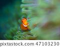 小丑anemonefish 47103230