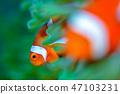 小丑anemonefish 47103231