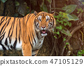 Close up of Indochinese Tiger standing 47105129