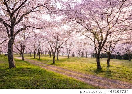樱花樱花盛开 47107784