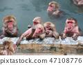 snow monkeys in Japan 47108776