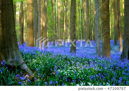 벨기에 헐 숲 만개의 블루 벨 (배경 흐림) 47109787