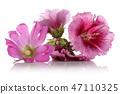 เบ่งบาน,บานสะพรั่ง,ดอกไม้ 47110325