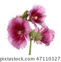 เบ่งบาน,บานสะพรั่ง,ดอกไม้ 47110327