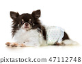 Cute chihuahua dog isolated on white background 47112748