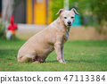 Little dog sitting in the lawn 47113384
