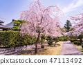 (시즈오카 현) 벚나무 · 大石寺 경내 47113492