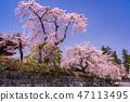 (시즈오카 현) 벚나무 · 大石寺 경내 47113495
