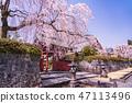 (시즈오카 현) 벚나무 · 大石寺 경내 47113496