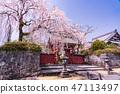 (시즈오카 현) 벚나무 · 大石寺 경내 47113497