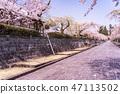 (시즈오카 현) 벚나무 · 大石寺 경내 47113502