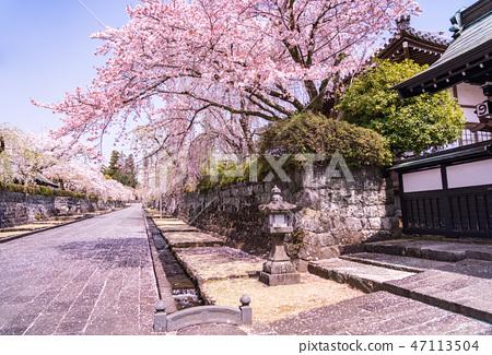 (시즈오카 현) 벚나무 · 大石寺 경내 47113504