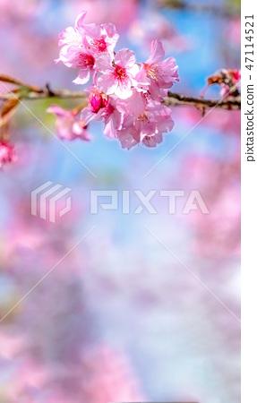 櫻花花愛十順十種開花的花園櫻花櫻花 47114521