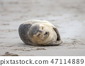 A grey seal lies on the beach on Helgoland 47114889