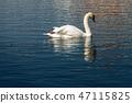 One Mute Swan swim on a Blue Lake 47115825