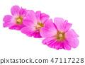 ดอกไม้,ชบา,เบ่งบาน 47117228