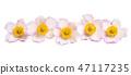 anemone hupehensis 47117235