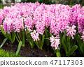pink hyacinths 47117303