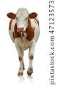 Cow 47123573
