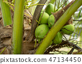 Closeup wet coconuts on the trees after watering 47134450